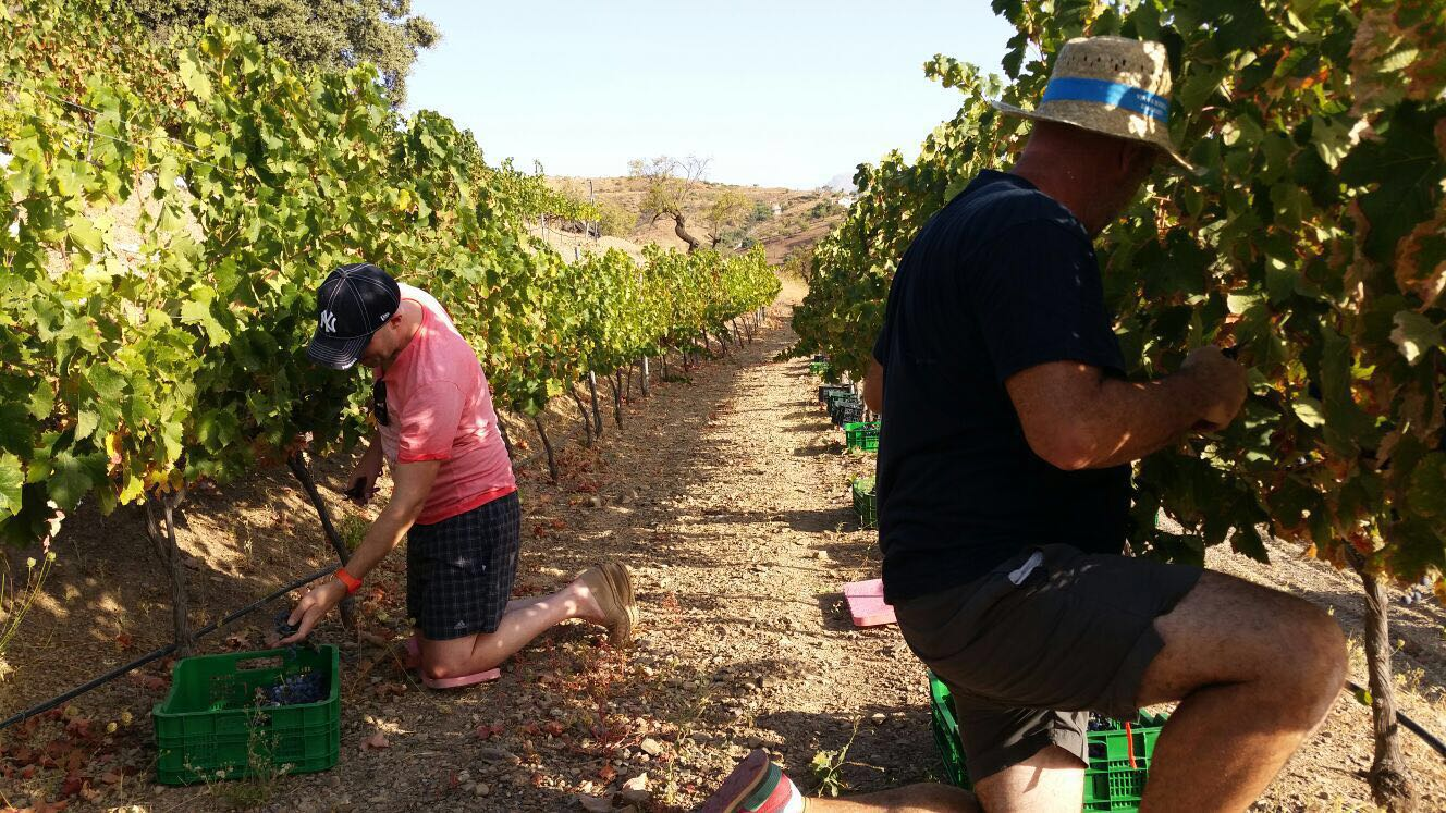 Druiven oogsten Zuid-Spanje
