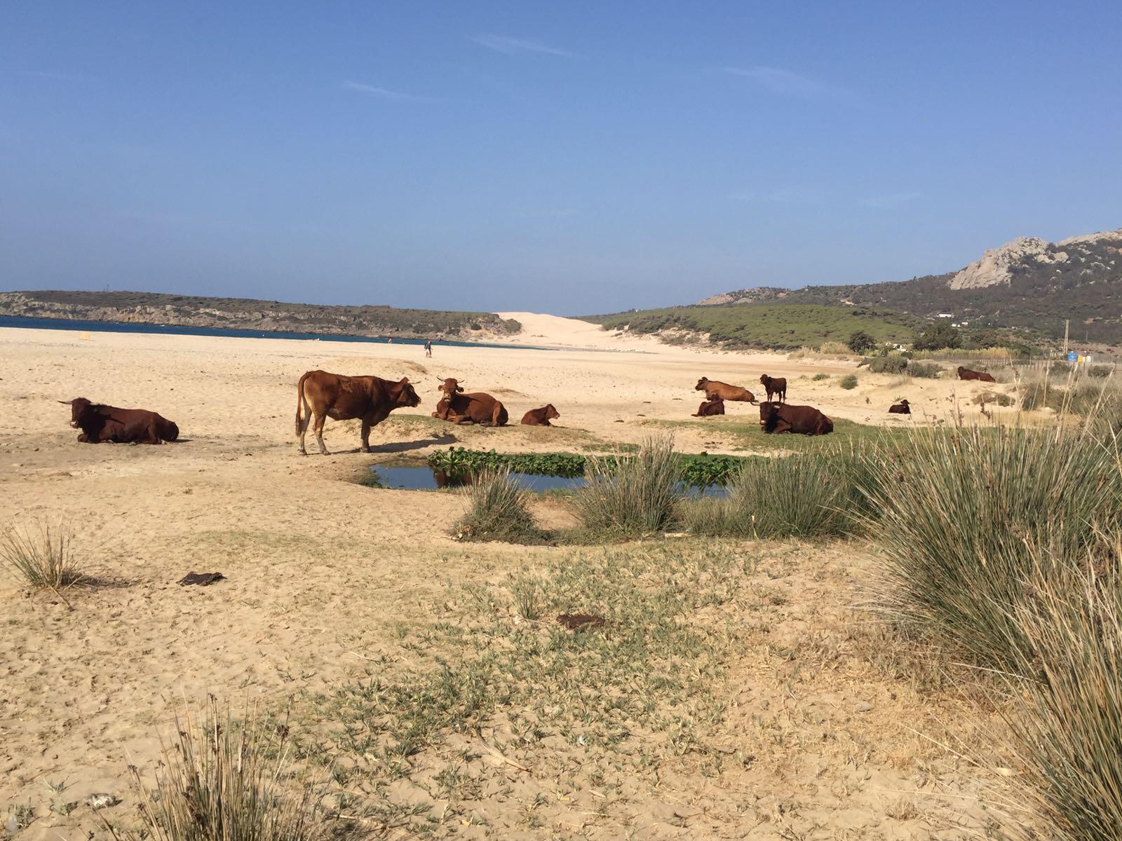 koeien-op-het-strand-van-playa-bolonia